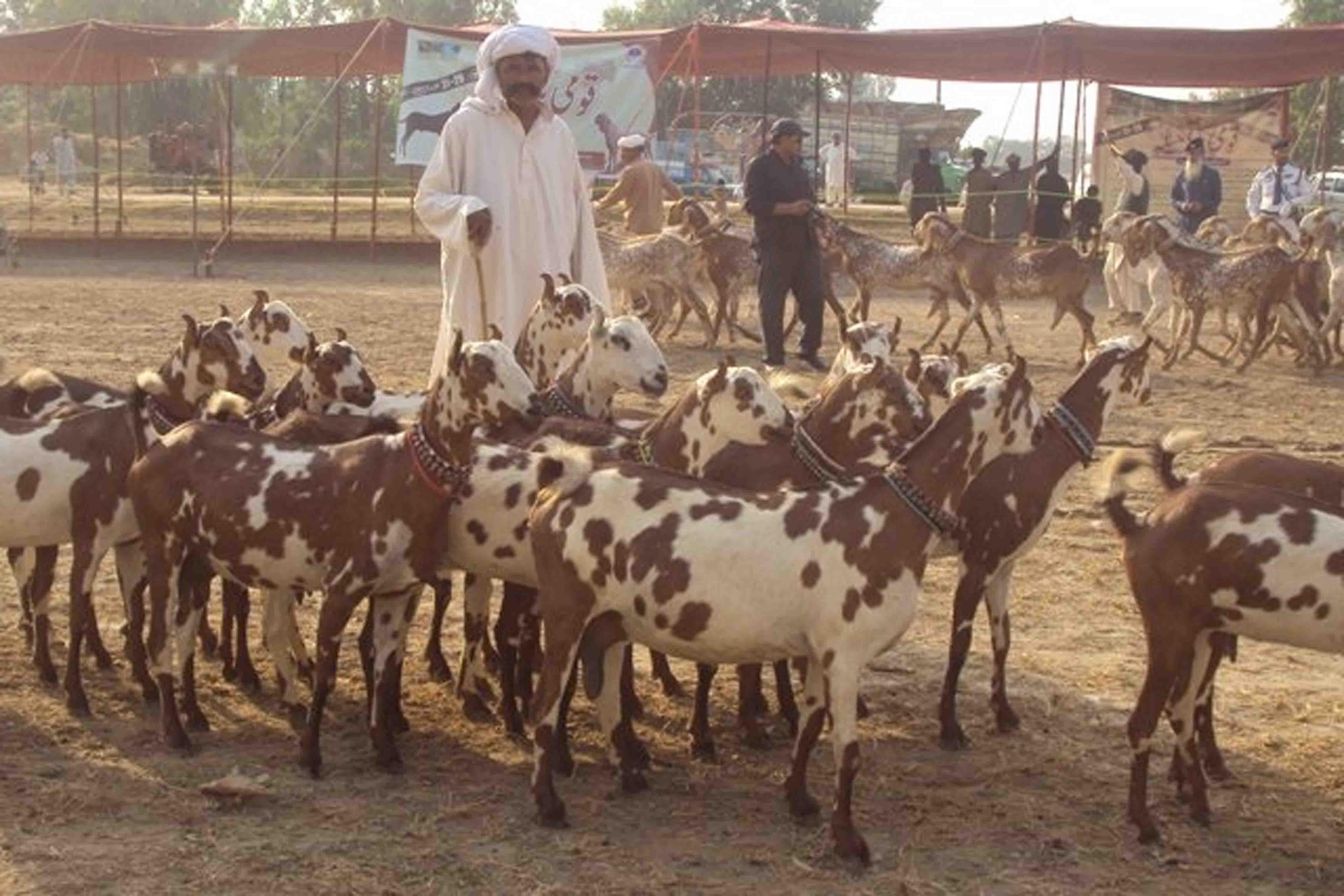 Goat Farming – Goat Farm Business | Project Makers | Service